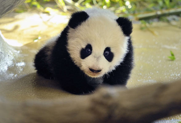 images of cute baby pandas - photo #22