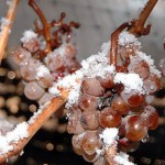 Ice Wine - Frozen Grapes