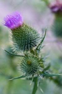 The Thistle – A Symbol of All Things Scottish