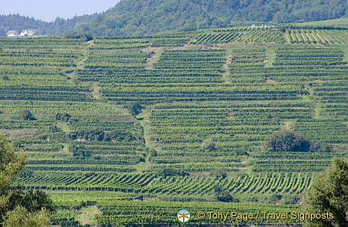 The Wachau Valley's famous vineyards