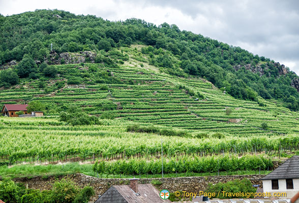 Terraced vineyards of Weissenkirchen