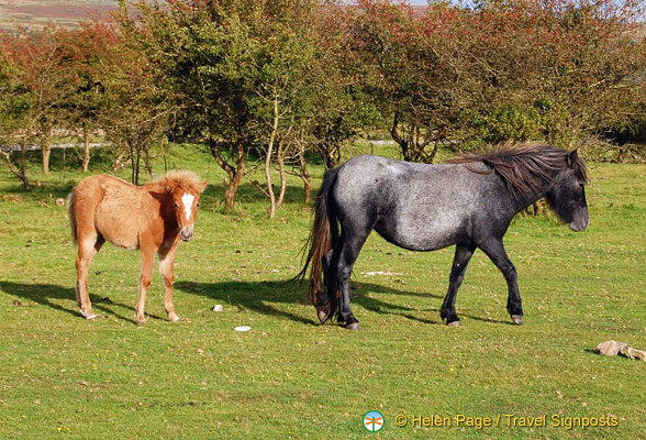 On our las day in Dartmoor, we finally saw these famous Dartmoor ponies, and what a sight