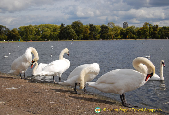 Swans by the Round Pond
