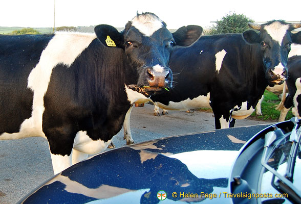 But, luckily the cows at Mousehole are friendly