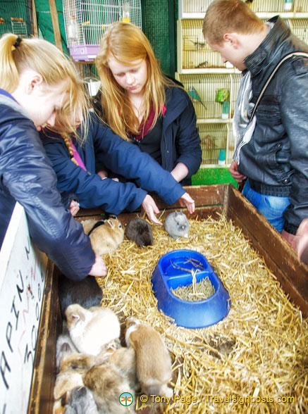 Guinea pigs, a favourite with the kids