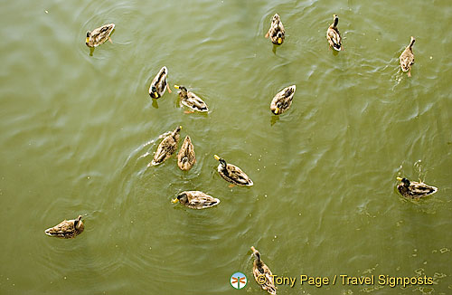 Ducks swimming near our river boat