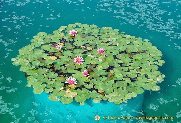 Cassino Memorial lotus plants