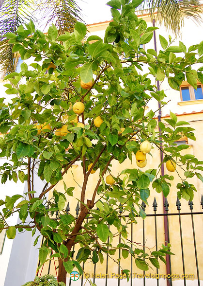 A lemon tree at the Hotel La Favorita