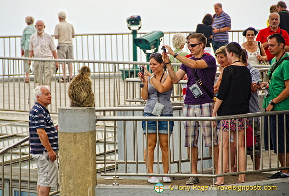 The Barbary ape - a Gibraltar tourist attraction