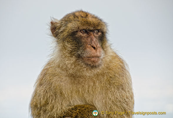 The Barbary ape is very much a part of the tourist attraction in Gibraltar
