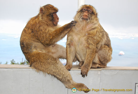 Barbary apes grooming each other