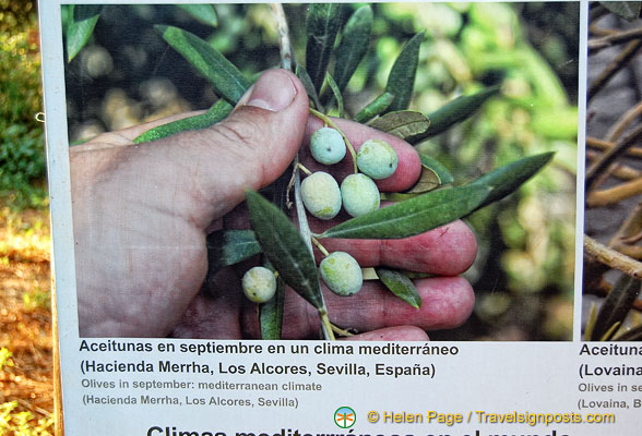 Larger size olives grown in Mediterranean climate