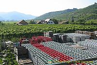 Rhine riesling ranges third in terms of quantity