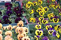 Flowers for sale in Dolac market