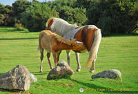 Wow, look at the mane and tail of mother Dartmoor pony