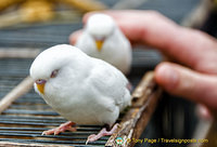 These white birds were so domesticated. They didn't have to be kept in cages.