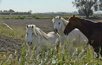 The Camargue - Provence, France