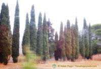 Typically Tuscan cypress trees