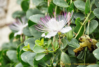 Beautiful caper flowers