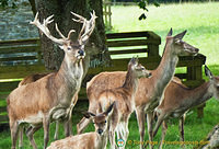 Deer park in Blair Castle grounds