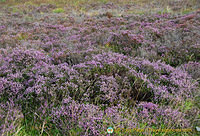 The flowers of the Culloden Battlefield