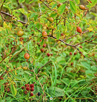 Berries and rose hip around the loch