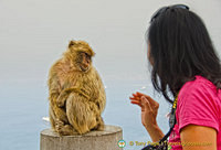 A small wave to this barbary ape