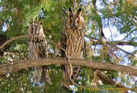 See these owls at the Gordion Muzesi grounds