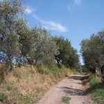 An old Italian olive grove on the Via Francigena