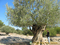 This olive tree is over 500 years old