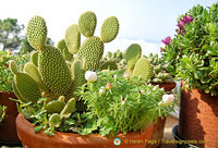 Healthy-looking cactus plants