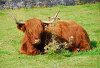 Beautiful Highland cows