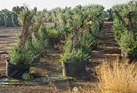 Pots of old olive trees for sale